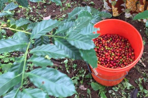 Arabica-Spitzenbohnen vom Hochplateaux in Togo