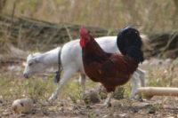 Tiere laufen überall frei herum