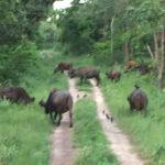 Togo-Reise - Sommer 2017 - Büffelherde