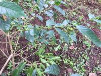 Eine Kaffeepflanze - Das sind Arabica Bohnen