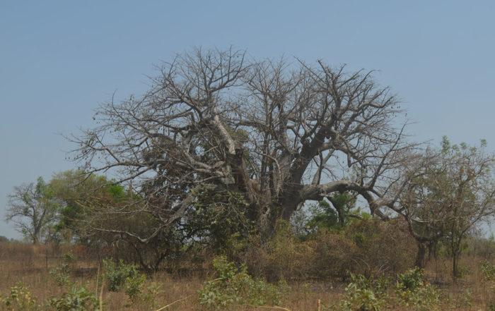 Baobab in der Trockenzeit